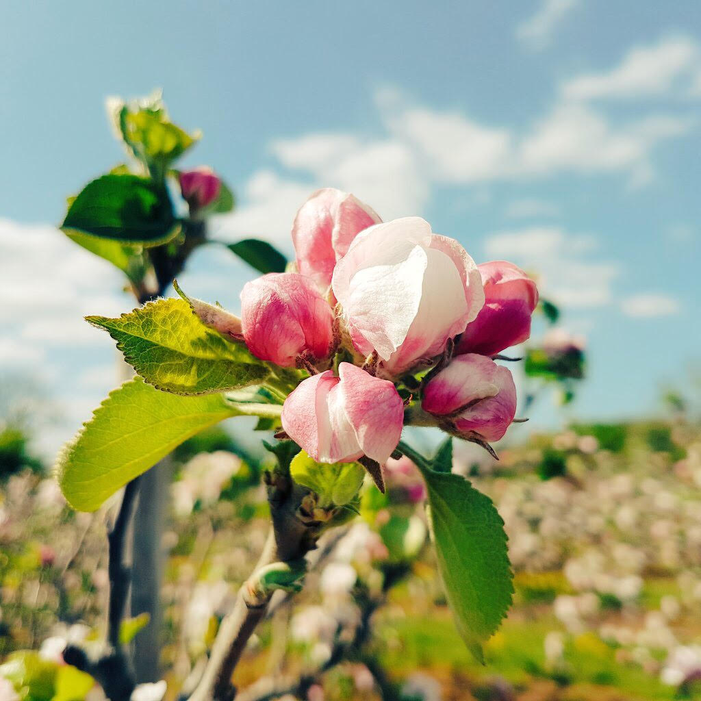 Apple blossom at Ardress House 2017