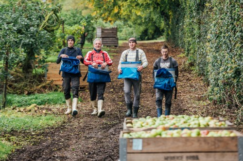 Apple pickers in Armagh's famous orchards where apple varieties are grown to make Mac Ivors cider.