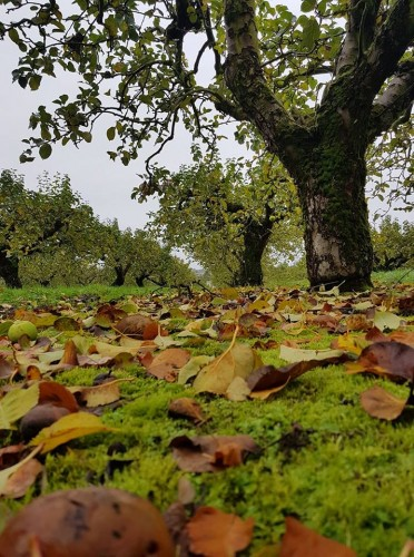 The orchards at Ardress, Co Armagh where Mac Ivors Cider Co is made - Irish cider